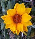 正月に見た黄色い花