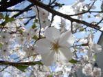 2007年、今年の桜